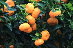 Mandarines oranges mûres sur l'arbre Photos stock