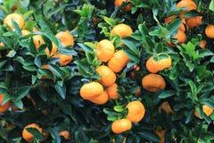 Mandarines oranges mûres sur l'arbre Photographie stock