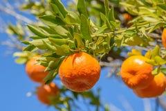 Mandarines ou mandarines sur les branches feuillues d'un arbre Image libre de droits