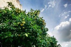 Mandarines på trädet Royaltyfri Foto