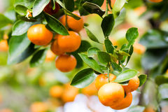 Mandarines ripened on the green tree branch in garden Stock Images