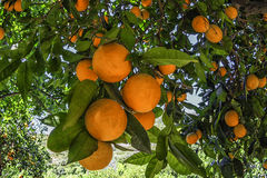 Mandarines sur l'arbre, arbre orange Photographie stock libre de droits
