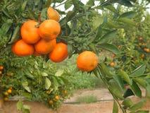 Mandarines sur la branche Photos libres de droits