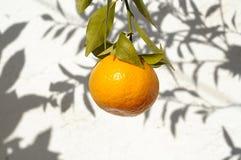 Mandarines sur sa branche avec le mur blanc comme fond dans ensoleillé Photos stock