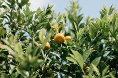 Mandarines sur un branchement Temps de moisson Nourriture délicieuse et saine photo stock