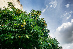 Mandarines on the tree Royalty Free Stock Photo