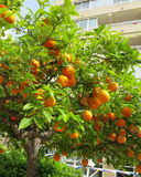 Mandarines on tree. Mellow Mandarines on tree in front of building, Torrevieja, Spain Stock Photo