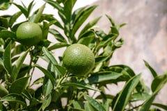 Mandarines verdes en un árbol Foto de archivo