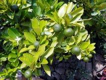 Mandarines vertes Photographie stock libre de droits