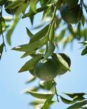 Mandarines vertes sur l'arbre Photographie stock libre de droits