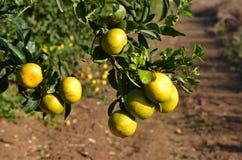 Mandarineträd royaltyfri fotografi