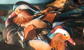 Mandarinfågeln i parkerar arkivbild