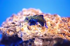 Mandarinfish或普通话dragonet 库存照片