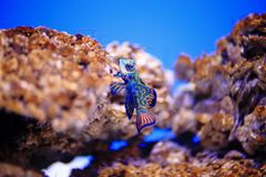 Mandarinfish或普通话dragonet 免版税图库摄影