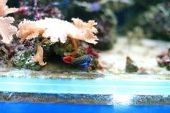 Mandarinfish 免版税库存照片