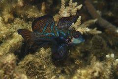Mandarinfish imágenes de archivo libres de regalías