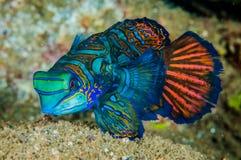 Mandarinfish Dragonet в Banda, фото Индонезии подводном Стоковое Изображение