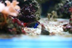 Mandarinfish Stock Photography