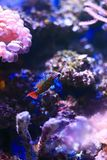 Mandarinfish Royalty Free Stock Photography