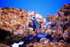 Mandarinfish or mandarin dragonet Royalty Free Stock Photography