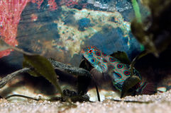 Mandarinfish (Synchiropus splendidus) Royalty Free Stock Photos