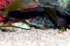 Mandarinfish (Synchiropus splendidus) Stock Photos