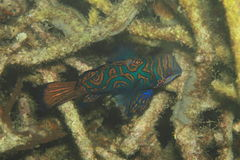 Mandarinfisk Royaltyfria Bilder