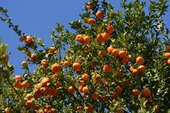 Mandarini che crescono sull'albero, Spagna immagine stock