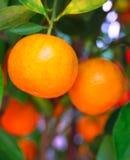 Mandarini cinesi Fotografie Stock