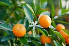 Mandarini crescenti Immagini Stock