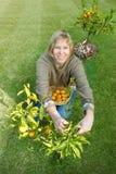 Mandarini di raccolto Fotografie Stock Libere da Diritti