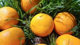 Mandarini in erba verde Un giorno soleggiato luminoso, le foto dei mandarini sono fatte Immagini Stock