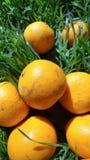 Mandarini in erba verde Un giorno soleggiato luminoso, le foto dei mandarini sono fatte Immagine Stock Libera da Diritti