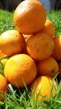 Mandarini in erba verde Un giorno soleggiato luminoso, le foto dei mandarini sono fatte Fotografia Stock