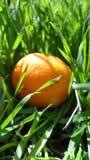 Mandarini in erba verde Un giorno soleggiato luminoso, le foto dei mandarini sono fatte Fotografia Stock Libera da Diritti