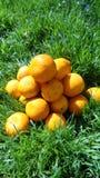 Mandarini in erba verde Un giorno soleggiato luminoso, le foto dei mandarini sono fatte Immagini Stock Libere da Diritti