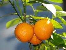 mandarini in foglie verdi Immagine Stock Libera da Diritti