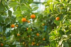 Mandarini, frutta matura sull'albero Fotografia Stock