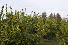 Mandarini maturi Immagini Stock Libere da Diritti