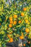 Mandarini maturi e freschi con le foglie sull'albero contro cielo blu Fotografia Stock