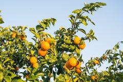 Mandarini maturi e freschi con le foglie sull'albero contro cielo blu Immagine Stock Libera da Diritti