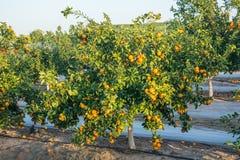 Mandarini maturi e freschi con le foglie sull'albero contro cielo blu Fotografia Stock Libera da Diritti
