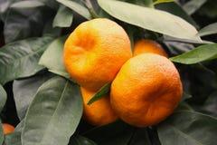 Mandarini maturi su un albero Immagini Stock Libere da Diritti