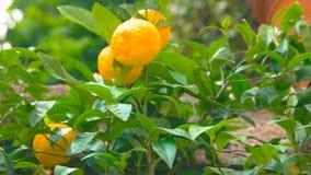 Mandarini maturi sul ramo di albero stock footage