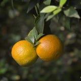 Mandarini su un ramo Fotografia Stock Libera da Diritti