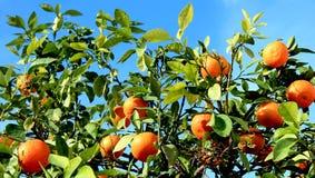 Mandarini sull'albero fotografie stock