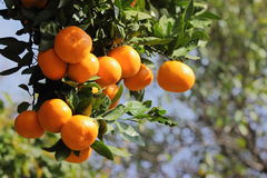 Mandarini sull'albero Fotografia Stock