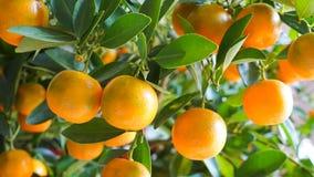 Mandarini sull'albero Immagine Stock