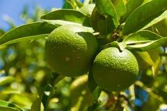 Mandarini verdi Fotografia Stock Libera da Diritti