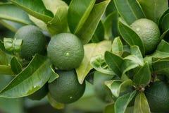 Mandarini verdi su un albero immagini stock